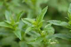 Thickets a peppermint Stock Photo