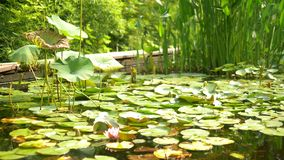 Lotus seeds. thickets of pink lotuses in bloom in a swampy pond stock video footage