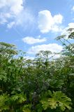 Thickets of poisonous giant hogweed with umbrellas against the blue sky with clouds stock photo
