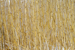 Thickets of reeds. In the swamp in winter royalty free stock photos