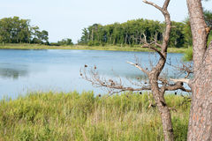 Thickets of reeds and Chesapeake Bay on Maryland Eastern Shore near Rock Hall, MD Royalty Free Stock Photos