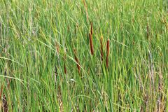 Thickets of reeds Stock Images