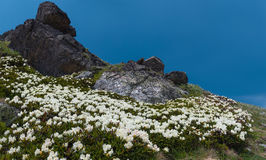 Thickets of Rhododendron caucasicum on a mountain slope. Royalty Free Stock Image
