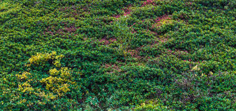 Thickets of rhododendrons caucasicum on a mountain slope. Royalty Free Stock Photography