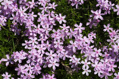 Thickets of small pink flowers Royalty Free Stock Image