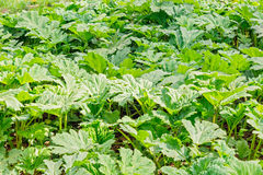 Thickets of sosnovsky hogweed. Lush green thickets of Sosnovsky hogweed in spring time Royalty Free Stock Images