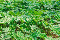 Thickets of sosnovsky hogweed. Lush green thickets of Sosnovsky hogweed in spring time Stock Image