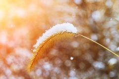 Thickets of tall grass covered by snow in urban landscape royalty free stock photo