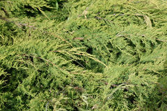 Thickets of thuja background. Thickets of thuja bush background Royalty Free Stock Images