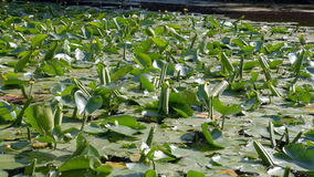 Thickets of water lilies on the lake Royalty Free Stock Photos