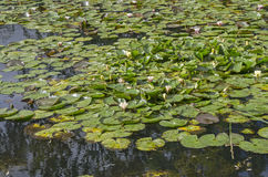 Thickets of water lilies on a pond. Royalty Free Stock Image