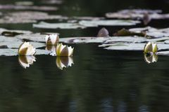 Thickets of water lilies on the water. White flowers of water lily Nymphaea alba on surfuce of water stock photography