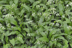 Thickets of wild garlic Stock Photo