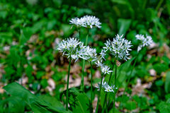 Thickets of wild garlic. Is photographed close up Stock Image