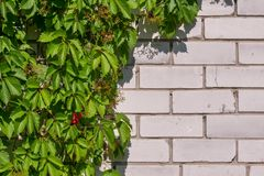 Thickets of wild grapes on a white brick wall. Natural background of green leaves. Summer sunny day. royalty free stock photos