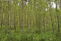 Thickets of willow. In river valley Stock Photo