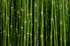 Thickets of young bamboo in college park Stock Photo