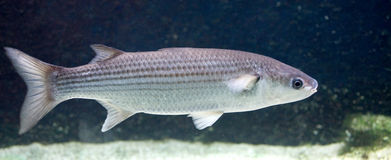 Thicklip grey mullet 1 Royalty Free Stock Photos