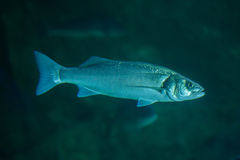 Thicklip grey mullet Chelon labrosus Stock Photography