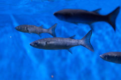 Thicklip grey mullet Chelon labrosus Royalty Free Stock Photography