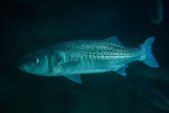 Thicklip grey mullet (Chelon labrosus) Royalty Free Stock Photography