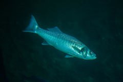 Thicklip grey mullet (Chelon labrosus) Stock Image
