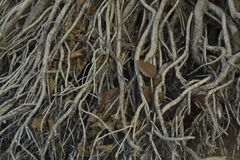 The thickly copsy roots of tree are caseb Stock Photo