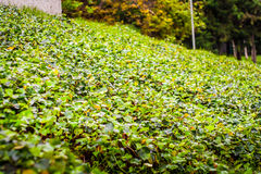 Thickly overgrown with ivy in the park Royalty Free Stock Images