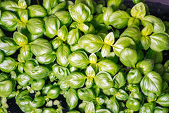 Thickly sown Seedlings Basilica One month`s motes organic texture of fresh greens. Concepts of Vocal Organic Nutrition Royalty Free Stock Images