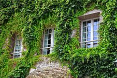 Sprawled ivy on the face of a building, framing three windows stock photo