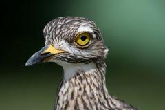 Thicknee or Dikkop Bird Stock Photography