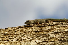 Thicktail day gecko, isalo, madagascar Stock Photography
