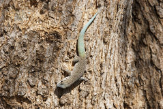 Thicktail day gecko, isalo, madagascar Stock Images