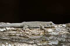 Thicktail day gecko, isalo, madagascar Stock Image
