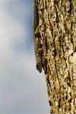 Thicktail dnia gekon, isalo, Madagascar Zdjęcia Stock