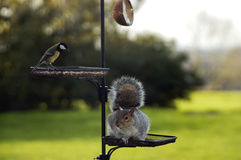 The Thief. Squirrel stealing nuts from a bird table Royalty Free Stock Image