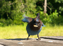The thief. Blue jay bird stealing crumbs from picnic table Royalty Free Stock Images