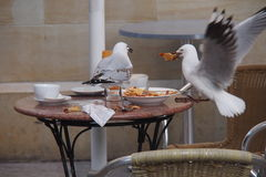 Thieving seagull Stock Images