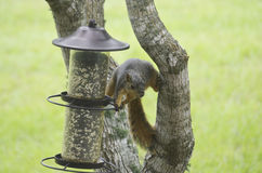 Thieving Squirrel Stock Image