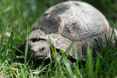 thighed ostróg żółwia Stary żółw na ogródzie grecki tortoise Fotografia Royalty Free
