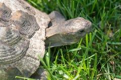 thighed ostróg żółwia Stary żółw na ogródzie grecki tortoise Obraz Stock