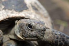 thighed ostróg żółwia Stary żółw na ogródzie grecki tortoise Fotografia Stock