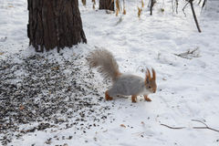 Thik灰鼠虽则去雪 库存图片