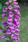 Thimble, Common Foxglove Royalty Free Stock Images