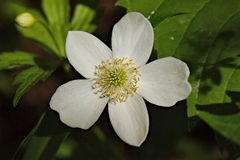 Thimble Weed. (Anemone Virginiana) is a  one inch white wild flower Royalty Free Stock Photo