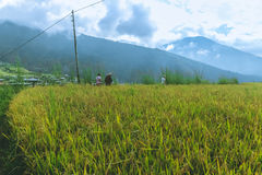 Thimphu, Bhutan - September 15, 2016: Rice field near Thimphu, Bhutan Stock Image