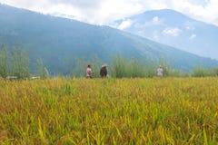 Thimphu, Bhutan - 15 settembre 2016: Giacimento del riso vicino a Thimphu, Bhutan Fotografie Stock Libere da Diritti