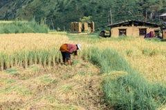 Thimphu, Bhutan - 16 settembre 2016: L'agricoltore del Bhutanese che raccoglie il riso pota in un giacimento del riso vicino a Th Immagini Stock