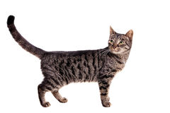 Thin adult tabby cat Stock Image
