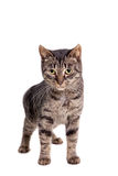 Thin adult tabby cat Royalty Free Stock Image